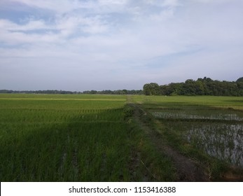 View of paddy field of Assam, India, Asia