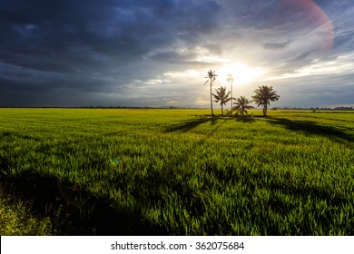 A view of paddy field in dramatic weather condition. Focus point on coconut tree. Lenses flare is visible.