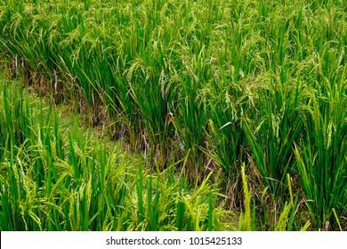 View of paddy fields. Unmilled rice, known as paddy (Indonesia and Malaysia: padi; Philippines, palay). Paddy becomes rice after the removal of husk by threshing.
