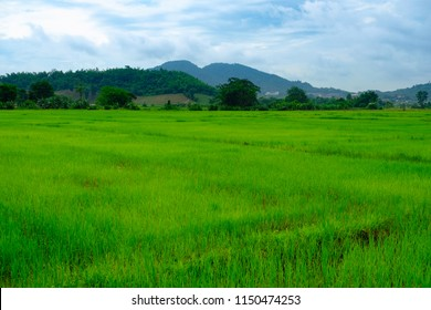 View of paddy rice farm with mountain background