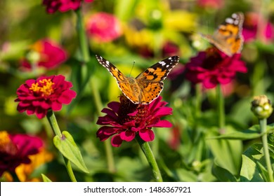 View of painted lady butterfly on the red flower in the summer garden. Photography of nature and wildlife.