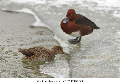 View of pair of ferruginous ducks on the bank of a frosted pond