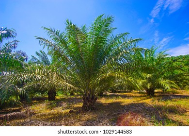 View of Palm Plantation with deep blue sky at background