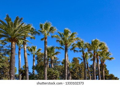 View of the palm trees of Sainte Maxime, on the Gulf of Saint Tropez. French Riviera.