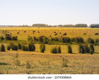 A view of the pampa biome - cows in the pasture (Uruguaiana, Brazil)