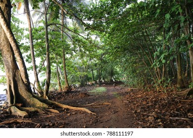 View of a pathway in a tropical forest of Rolas Island in Sao Tome and Principe. A lot of luxurious vegetation with large leaves and coconuts. Many high trees and trunks and roots. The ground is wet.