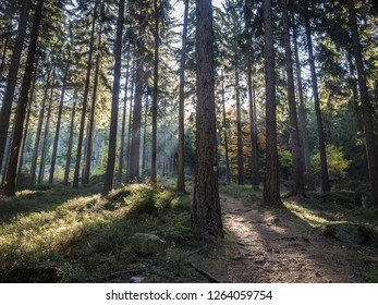 The view of pine forest with sun rays going through the trees. Broumovsko, Czech Republic