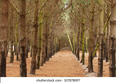 View of a Pine Plantation, with young trees