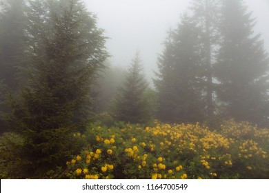 View of pine trees, mountain roses in fog (Rhododendron luteum) The image is captured in the mountain called Sis of Trabzon city located in Black Sea region of Turkey.