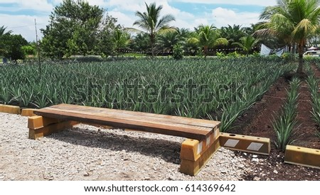 Admirable View Pineapple Tree Rows Timber Bench Stok Fotograf Simdi Caraccident5 Cool Chair Designs And Ideas Caraccident5Info
