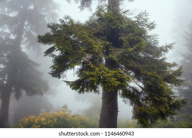 View of pines trees in fog. The image is captured in the mountain called Sis of Trabzon city located in Black Sea region of Turkey.