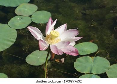 view of pink lotus flower