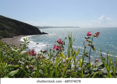 A view from Portwrinkle in Cornwall, looking east across Finnigook beach towards Whitsand bay and Tregantle beach, the Rame head peninsular and Plymouth in Devon beyond, with pink flowers.