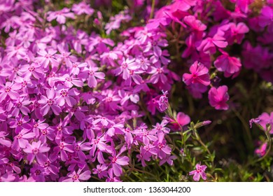 View of purple-coloured Creeping Phlox, or also known as Phlox Stolonifera, which is a herbaceous, stoloniferous, perennial, plant, seen in Kyoto's Toba Sewage Treatment Plant.