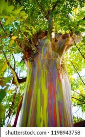 View of the rainbow eucalyptus, Kauai, Hawaii, USA. Bottom view. Vertical