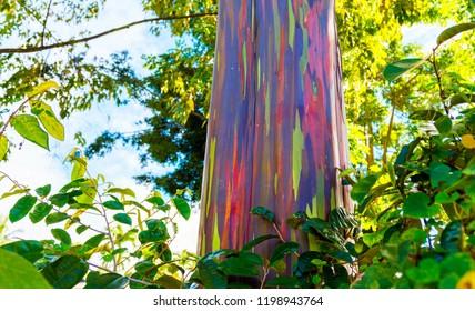 View of the rainbow eucalyptus, Kauai, Hawaii, USA