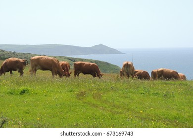 A view of the Rame head peninsular, looking west from the coast path between Looe in Cornwall and Plymouth in Devon, with a herd of brown cows in between