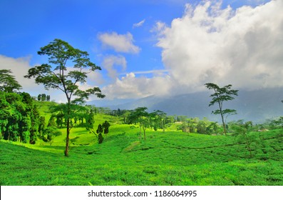 View of Rangli rangliot tea garden near Takdah.