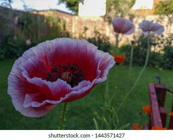 An view of red common poppies with white edges in the morning shade