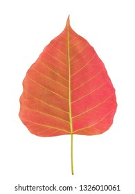 Top view of red Ficus religiosa leaf (Bo Tree, Bodhi Tree, Pipal Tree) isolate on white background.(nature color)