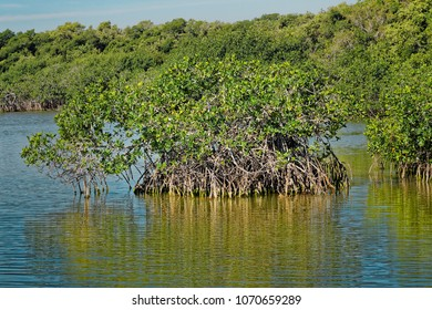 View of Red mangrove trees (Rhizophora Mangle) with the roots and undergrowth clearly visible in the Florida Everglades National Park