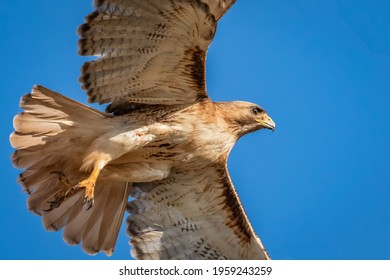 A view of a red-tailed haek ( Buteo jamaicensis) that a mouse doesn't want see.