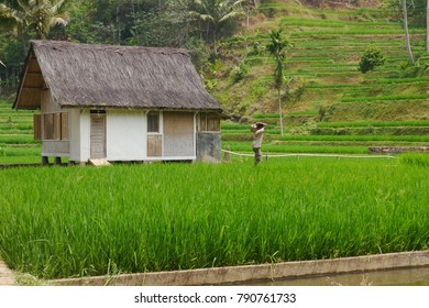 View of rice fields and a hut with a palm fiber roof in the Kampung Naga village inhabited by a community with a very strong tradition kept for centuries, Kampung Naga, Java, Indonesia 2015.