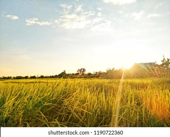 View of rice paddy field in the morning. Landscape view of a rice paddy field.