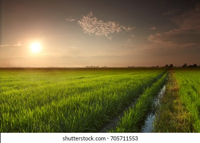 View of rice paddy field in the morning