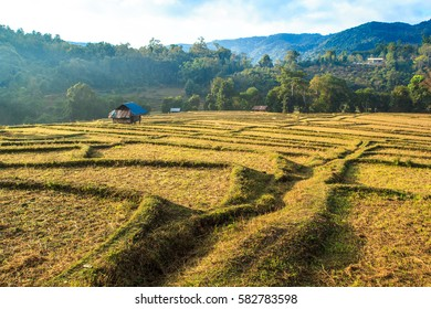 View of rice terraces After harvest A beautiful yellow gold