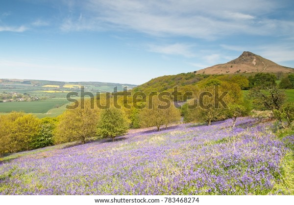 A view of Roseberry Topping with bluebells in the foreground on a bright spring light day.  North Yorkshire.  11th May, 2017.