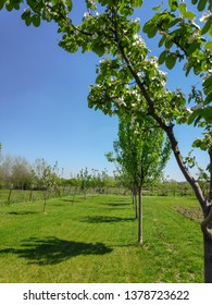 View of a row of blooming trees in an orchard in spring during a sunny day with clear blue sky. Countryside during spring or hello spring concept