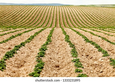 A view of rows of freshly germinated potatoes growing in a farm field in the fertile farm fields of Idaho.