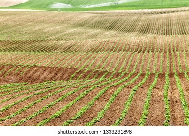 A view of rows of freshly germinated potatoes on a farm field in the fertile farm fields of Idaho.