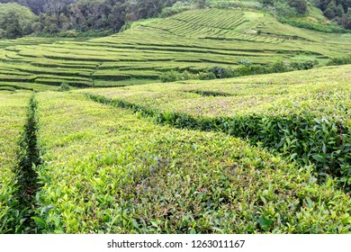 A view of rows of tea growing at the Gorreana tea plantation in Sao Miguel.