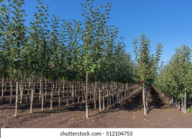 Blick in den Reihen einer Baumschule mit zahlreichen jungen Apfelbäumen