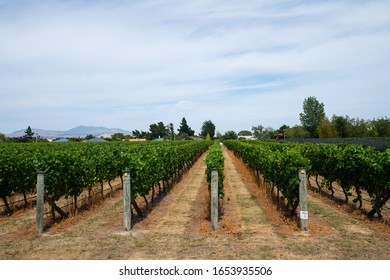View of the rows of vines in a New Zealand vineyard