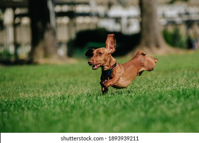 A view of running dachshund dog on a grassy field