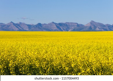 View of rural Alberta and a yellow canola field in bloom with the Canadian Rockies in the background near the prairie town of Cowley and Pincher Creek, Alberta, Canada.