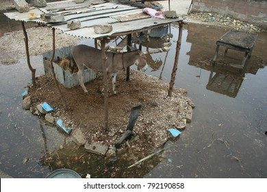 View of a rural scene in Joal Fadiouth village in Senegal. Various animals like donkeys, pigs and dogs are outside near the houses. The place is wet with paddles. Picture taken on 8th april 2012.