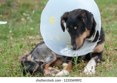 view  sad and cute dog with a Elizabethan collar and a scar of a incision linear surgical suture on the leg