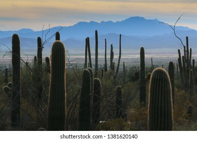 View from Saguaro National Park through forest of Saguaro Cacti to surrounding Tucson valley and mountains