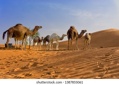 View of the Sahara desert with camels in Tunisia