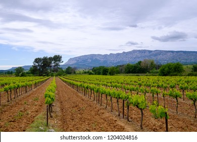 View of Sainte-Victoire mountain in spring. The vineyards in the foreground. Provence, France.