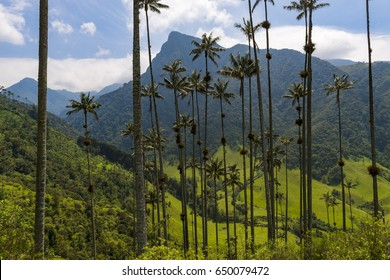 View of the scenic Cocora Valley with Quindio wax palm trees on the foreground, in Colombia; Concept for travel in Colombia and South America