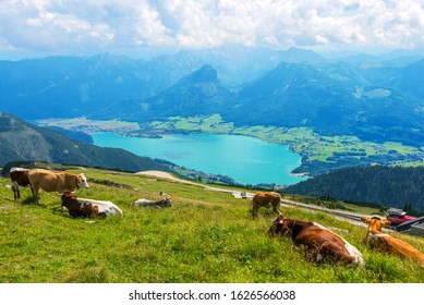 View from Schafberg mountain to lake Wolfgangsee, cows in grass meadow on forefront