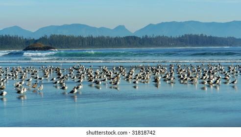 View of seagulls on long beach, tofino, british columbia, canada