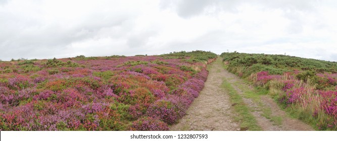 View from Selworthy Beacon, England UK near Exmoor and west of Minehead on the south west coast path with purple heather
