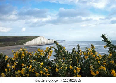 View of Seven sisters country park and Gorse Bush flowers