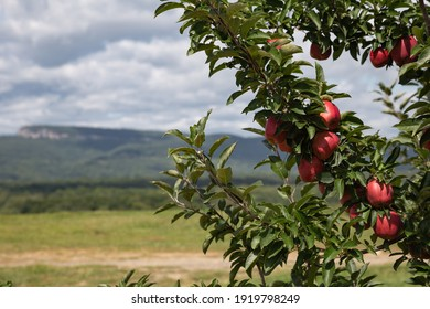 View of the Shawangunk Mountains from an apple orchard.